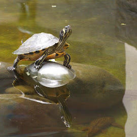 DSC_2626 by David Vallejo - Animals Reptiles ( water, basking, yellow, turtle, pond, sunning, belly, sun )