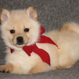Christmas Puppy~Petie~ by Leah Danker - Animals - Dogs Puppies ( cute puppy, christmas puppy, petie, puppy, puppy portrait,  )