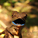 Earless Agama