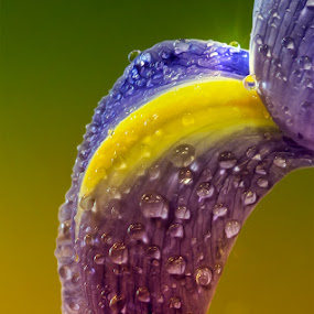 Drips Of Bliss by Bill Tiepelman - Nature Up Close Flowers ( drip, water, purple, droplet, blue, drips, drop, drops, yellow, closeup, petal.macro, flower )
