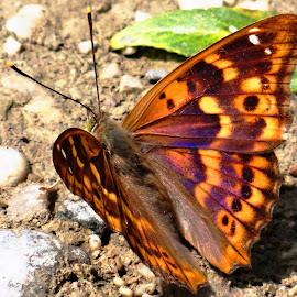 Butterfly Apatura ilia changes color by Dubravka Penzić - Animals Insects & Spiders