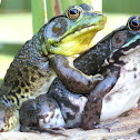 Northern Green Frogs (amplexus)