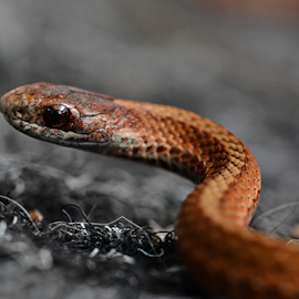 Red-Bellied Snake by Jill Beim - Animals Reptiles ( reptiles, modern day dinosaur, red-bellied snake, snakes,  )