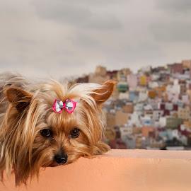 Chloe by NENAD IVANOVIC - Animals - Dogs Portraits ( dogs mascotas perro yorkshir terier las palmas nikon d50 ivanovic nemanja )