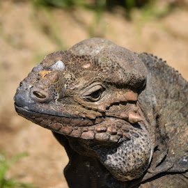 Rhinoceros Iguana by Deven Dadbhawala - Animals Reptiles