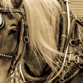At Work by Laura Duda - Animals Horses ( roan, sepia, reins, bridle, hames, horse, harness, blond, team, horseshoe, belgian, draft horse, chestnut, lines,  )