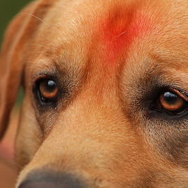 Taisen by Shael Gajjar - Animals - Dogs Portraits ( sharp, angry, dog, eyes, animal )