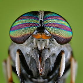 HorseFly by Donald Jusa - Animals Insects & Spiders ( animals, macro, extreme, horsefly, insects )