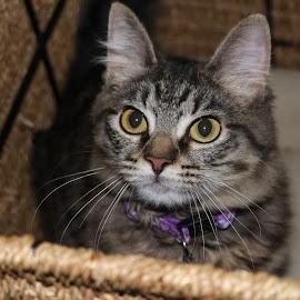 Mia is so cute  by Sara Ramalho - Animals - Cats Portraits ( cats, cat, cat eyes, cat portrait )