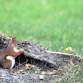 squirrel by Jaliya Rasaputra - Animals Other Mammals