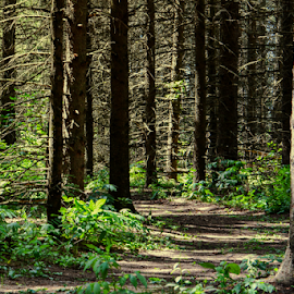 Pathway through the Pines by Jill Beim - Landscapes Forests ( pathway, woodland, forest, pine, landscape,  )