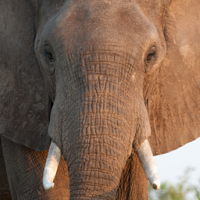 Elephant by Marsilio Casale - Animals Other Mammals ( wild, nature, elephant, zambia, zambezi, animal )