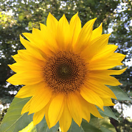 Backyard Sunflower  by Michelle Fulton - Instagram & Mobile iPhone