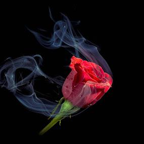 Wisp 3 by Gregg Pratt - Flowers Single Flower ( rose, smoke )