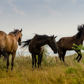 by Sorin Irimia - Animals Horses