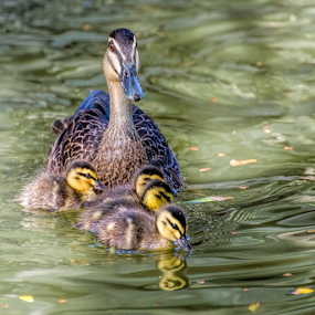 Duck family  by Loredana  Smith - Animals Birds ( water, babies, ducklings, mother, avian, wings, family, swim, duck, lake, cute )