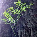 Thorny honey locust