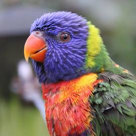 Lorikeet by Ralph Harvey - Animals Birds ( bird, wildlife, ralph harvey, bristol zoo, lorikeet )