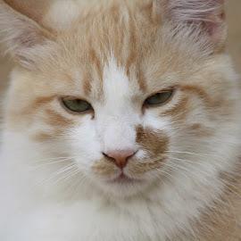 Cat by Ute Toschka - Animals - Cats Portraits ( cat )