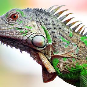 iguana by Sandi Nopri yanto - Animals Reptiles