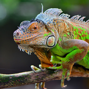 by Ajar Setiadi - Animals Reptiles (  )