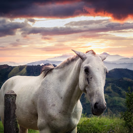 Red sky, white horse by Andy Boyce - Animals Horses ( clouds, orange, mountains, red, sunset, green, horse, costa rica, white )