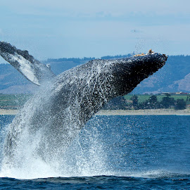 Humpback Whale breaching by Wade Tregaskis - Animals Sea Creatures ( humpback, breaching, fins, fin, whale, whitewater )