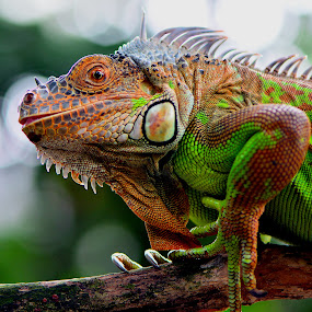 Green Iguana by Ajar Setiadi - Animals Reptiles (  )