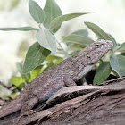 Western Fence Lizard (Blue Bellies)
