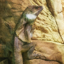Frill Necked Lizard by Bevlea Ross - Animals Reptiles