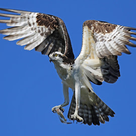 Osprey with fresh catch! by Anthony Goldman - Animals Birds ( bird, wild, flight, predator, catch, lakeland, osprey )