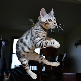 Flying high bengal by Rob Ebersole - Animals - Cats Playing ( kitten, cat, maplewood bengals, bengal, leopard )