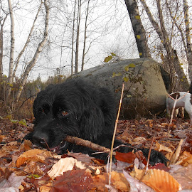 Dog walk in the woods by Sandy Davis DePina - Animals - Dogs Playing ( bulldog, dogs, newfoundland, forest, leaves, woods )