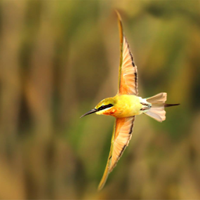 It's My Show Time....Blue Tailed Bee Eater Flight by Nithya Purushothaman - Animals Birds (  )
