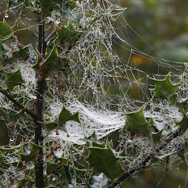 Festooned Holly by Chrissie Barrow - Nature Up Close Webs ( water, holly, green, shrub, white, leaves, bokeh, webs, red, drops, bush, misty, berries )