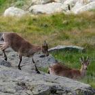Gredos Ibex; Western Spanish Ibex