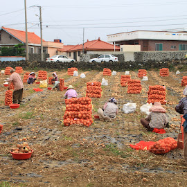 Onion Harvesting by Su Ying Ooi - People Group/Corporate ( united, onions, farmer, community, harvest, people, hope, Hope )