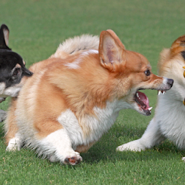 Chain reaction by Mia Ikonen - Animals - Dogs Playing ( chaos, action, pembroke welsh corgi, finland, fun )