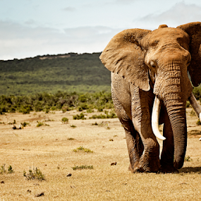 elephant by Linda Stander - Animals Other Mammals (  )
