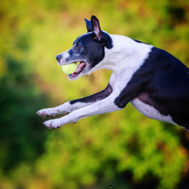 Flying Dog with Ball by David Freese - Animals - Dogs Playing ( austin, dogs, town lake )