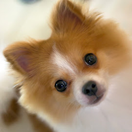 sammy by Angel Rye - Animals - Dogs Portraits ( dogs, pets, puppy, pomeranian,  )