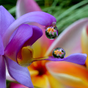 by Margie MacPherson - Nature Up Close Natural Waterdrops ( plumeria, macro, water drops, purple, wild orchid, , yellow, color )