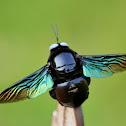 Indian Black Bee