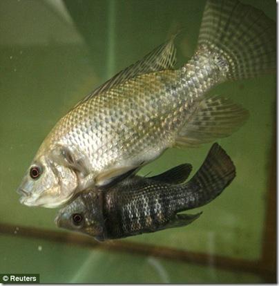 peixesiames1