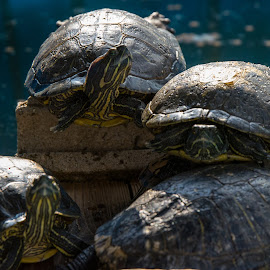 Turtle Huddle by Everett Howell - Animals Other ( animals, pets, turtles, relaxing, sun )