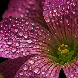 drop on petals by Asif Bora - Nature Up Close Natural Waterdrops