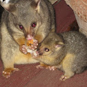 Common Brushtail Possum (mother & joey 2013)