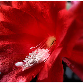blood-red flower by Zlatko Sarcevic - Flowers Single Flower ( macro, red flower, nature, close up, flower,  )