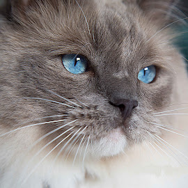 Frankie by Tracey Taylor - Animals - Cats Portraits ( ragdoll, cat, kitten, blue, pet )