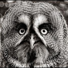Wijs by Etienne Chalmet - Black & White Animals ( sepia, animals, birds, owls )